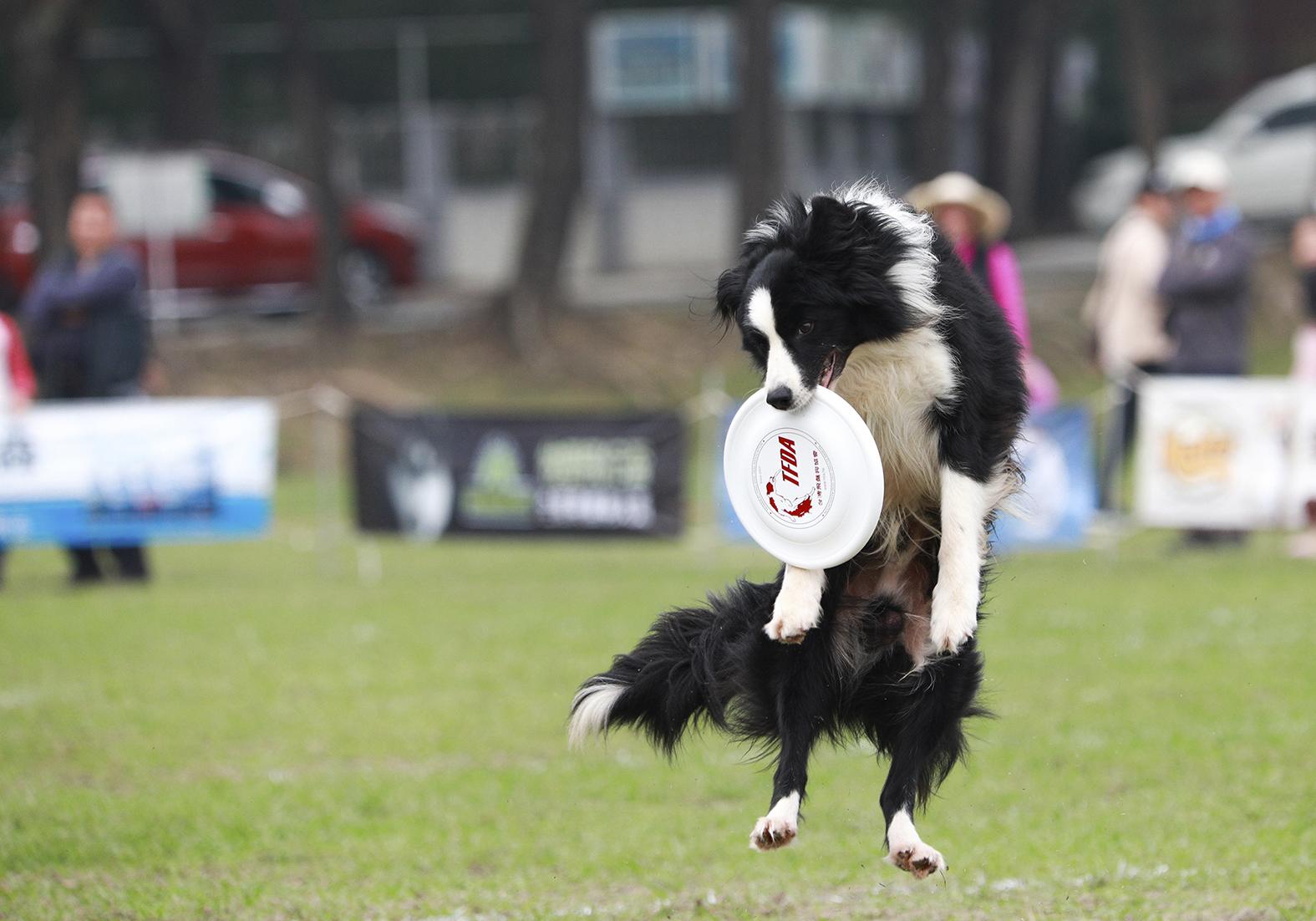 飛盤狗比賽